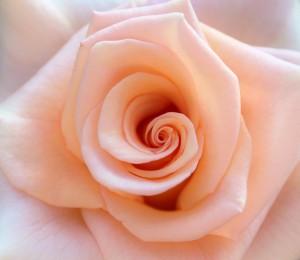 rose-851950_1280