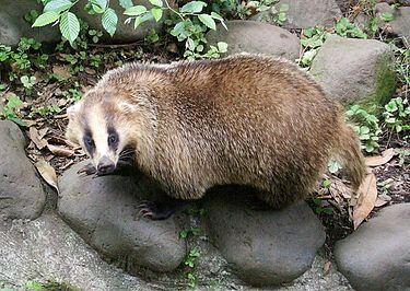 375px-Meles_meles_anakuma_at_Inokashira_Park_Zoo